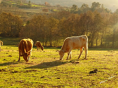 Águas Frias (Chaves) - ... vacas no pasto ... (Mário Silva) Tags: águasfrias aldeia chaves trásosmontes portugal madeinportugal ilustrarportugal lumbudus primavera máriosilva 2018 março vaca vacas animais gado