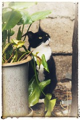 Elvira (suzeesusie) Tags: tuxedocat cat stray tnr edit canon7d snapseedapp animal kitty filter