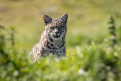 The Stare (Ryan Jeske) Tags: canon80d pointreyes supertelephoto outdoors wildcat nature 600mm sigma150600contemporary cat bobcat wildlife animal safari pointreyesnationalseashore