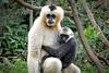 white-cheeked gibbon and infant (rogersmithpix) Tags: whitecheekedgibbon babygibbon endangeredspecies endangeredwildlife adelaidezoo
