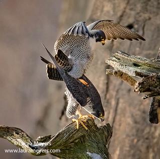 Peregrine Falcons Pair