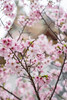 Cherry Blossom (湯小米) Tags: 85mm carlzeiss newtaipeicity planar85mmf14 さくら 桜 6d canon flower spring taiwan 新北市 林口區 櫻花 竹林山觀音寺 新北 台灣 tw