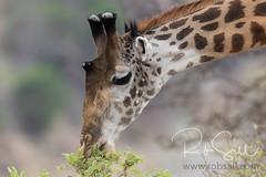Masai Giraffe (robsall) Tags: 2016 500mm 7dmark2 7dmarkii 7dm2 7dmii africa africatourism africawildlifephotography africanwildlife canon canon500mmf4lisiiusm canon500mmf4 canon500mmf4lii canon500mmf4ii canon7dmark2 canon7dmarkii canon7d2 canon7dm2 canoneos canoneos7dmark2 canoneos7dm2 family giraffacamelopardalistippelskirchi giraffe giraffes kilimanjarogiraffe mammal masaigiraffe masaigiraffes robsallaeiral robsalldrone robsalldronephotography robsallphotography robsallwildlifephotography tanzania tanzania2016 vacation manyararegion