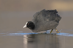 Folaga (Ricky_71) Tags: eurasian coot fulica atra wild lake nikon