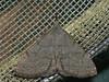 Pechipogo strigilata - Common fan-foot - Совка усатая (Cossus) Tags: erebidae herminiinae noctuidae pechipogo совка 2010 можайский