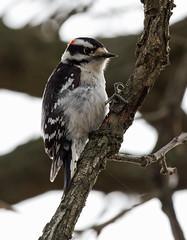 baleful stare (kerwilliger) Tags: birds lakefarmpark downy woodpecker picoidespubescens wisconsin madison