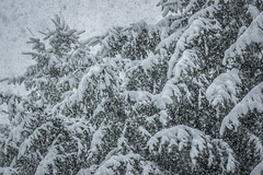 This is what thundersnow looks like (T.M.Peto) Tags: thundersnow snow weather wx snowing snowflakes downpour lightning winterweather winter winterwonderland winterscene wintertime winterphotography yardley pennsylvania pennsylvaniaisbeautiful buckscounty trees pines pine pinetrees landscape landscapephotography landscapes scenic scenery sceneryphotography outdoor outdoors outdoorphotography nikonoutdoors nikon nikond3300 nikonphotography adobelightroom lightroom outside god'screation
