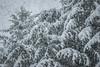 This is what thundersnow looks like (T.M.Peto) Tags: thundersnow snow weather wx snowing snowflakes downpour lightning winterweather winter winterwonderland winterscene wintertime winterphotography yardley pennsylvania pennsylvaniaisbeautiful buckscounty trees pines pine pinetrees landscape landscapephotography landscapes scenic scenery sceneryphotography outdoor outdoors outdoorphotography nikonoutdoors nikon nikond3300 nikonphotography adobelightroom lightroom outside god'screation
