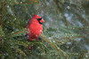 Spring!........What Spring ?? 😣 (Ania Tuzel Photography) Tags: massapequapark spring winterinspring northern cardinal wild