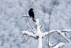 Corneille noire (JeanJoachim) Tags: corneillenoire corvuscorone carrioncrow passeriformes corvidae oiseau bird vogel aves uccello fågel fugl pássaro バード lintu птица ptak pentaxk5ii aaskrähe smcpentaxda300mmf4edifsdm