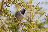 Ruppell's Warbler spring_w_2247 (Daly Wildlife) Tags: protaras ammochostos cyprus cy mediterranean ruppellswarbler sylviaruppelli sylviawarbler