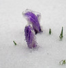 (TheDeepestPurple+) Tags: 2018 pentax q7 smcpentaxf2845515mmedalif pentaxart flower flowers flowering crocus snow ice march