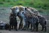 Spotted hyenas - Masaï Mara - Kenya (lotusblancphotography) Tags: africa afrique nature wildlife faune safari animal hyena hyène cubs
