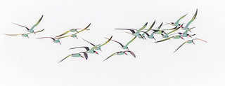 Squadron of Black Skimmers...