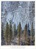 Trees In Sun, Cliff In Shadow (G Dan Mitchell) Tags: trees sun cliff shadow ice snow monolith granite sentinel rocks light row edge meadow winter nature landscape yosemite valley national park sierra nevada california usa north america