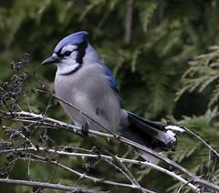 _Q8A1029RichmondBlueJaySmall (birdbug3) Tags: cyanocitta cristata