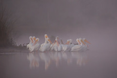 Cancelled Flight (gseloff) Tags: americanwhitepelican bird fog reflection wildlife nature animal water bayou horsepenbayou pasadena texas kayak gseloff