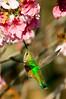 Black-chinned Hummingbirds in Huntington Central Park in 2018(1) (tom@f) Tags: green blackchinnedhummingbirds hummingbirds huntingtoncentralparklandscape nature socal california ca usa us unitedstates unitedstatesofamericaanjo anjoshi nishimikawa aichi aichiprefecture 安城 安城市 西三河 愛知 愛知県japanjp日本asiacherryblossomprunusserrulatasakura桜櫻さくら夜桜pinkhuntingtoncentralparkhuntingtonbeachsocalcaliforniacausausunitedstatesunitedstatesofamerica sony nex nex5t apsc emount mirrorless telephoto telephotolens sel55210 kenko tokina 400mm f8 mirrorlens olympus tcon17x teleconverter