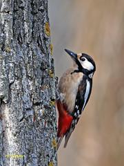 Pico picapinos (Dendrocopos major)   (100) (eb3alfmiguel) Tags: aves pájaros carpintero piciformes picidae pico picapinos dendrocopos major pájaro árbol hierba animal bosque madera
