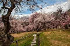 Spring Blossoms in Hunza (Rollingstone16) Tags: landscape spring blossoms hunza hunzavalley colorsoflife pakistan