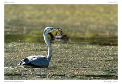 Héron cendré | Grey Heron | Ardea cinerea (BerColly) Tags: france auvergne puydedome oiseau bird héroncendré greyheron ardeacinerea pêche fishing fish poisson bercolly google flickr