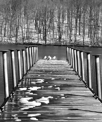 Sitting at the dock of the bay (mpalmer934) Tags: gulls dock lake trees birds