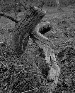 Tree Stumps (Hyons Wood)