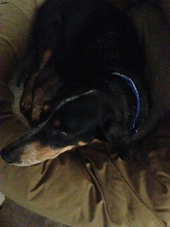 dogs Blue in new blue leash-collar