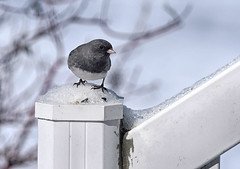 2018 - Day 84:  chilly post (Mark.Swanson) Tags: junco darkeyedjunco normal illinois mcleancounty winter