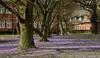 Krokusblüte in Husum; Nordfriesland (3) (Chironius) Tags: husum schleswigholstein nordfriesland deutschland germany allemagne alemania germania германия niemcy grauestadt blüte blossom flower fleur flor fiore blüten цветок цветение asparagales schwertliliengewächse iridaceae krokusse crocus baum bäume tree trees arbre дерево árbol arbres деревья árboles albero árvore ağaç boom träd crocusnapolitanus blau ziegel brick brique mattone ladrillo backstein ziegelstein