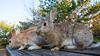 大久野島 20 (tomomega) Tags: 大久野島 広島県 ウサギ 兎 rabbit 動物 animal