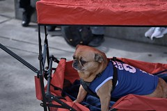 Privileged Ride (Scott 97006) Tags: dog canine animal pet wagon ride cute treat pampered