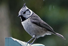 Cincia dal ciuffo 2  DSC09143 (massimocenedese) Tags: cincia dal ciuffocrested tit nature natura birds uccelli sony a6500