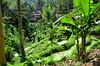 Lush Terraces At Pura Gunung Kawi (itchypaws) Tags: 2017 island august asia bali indonesia vacation holiday pura gunung kawi temple