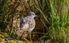 Redshank - (Tringa totanus) 'Z' for zoom (hunt.keith27) Tags: brightorangeredlegs redshank mediumlength bill orange base match brownspeckledback wings bird water slimbridge canon sigma grass