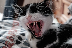 Domestic Tiger! (Mark Bendig) Tags: cat yawning domestic tiger fangs canines yawn pet