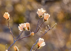 Blossoms Bloomin' (mclcbooks) Tags: flower flowers floral spring magnolia magnolias tree denverbotanicgardens colorado