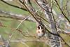 Chardonneret. (Sylviane Béguin) Tags: animaux oiseaux chardonneret