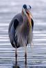 Great Blue Heron (david byng) Tags: esquimaltlagoon spring vancouverisland pacificocean birds canada heron britishcolumbia 2018 colwood