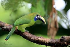 Tiny Toucan (Megan Lorenz) Tags: bluethroatedtoucanet toucanet toucan bird avian emeraldtoucanet rainforest nature wildlife wild wildanimals travel costarica mlorenz meganlorenz
