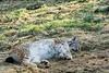 ausruhen (grasso.gino) Tags: tiere animals natur nature wildpark granat nikon d5200 katze cat luchs lynx schlafen sleeping