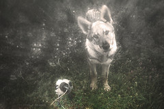 (violabuzzi) Tags: animals crow wolf nature dream czechoslovakianwolf love hidden secret puppies puppy cornacchia lupo tuscia research digitalart art illustration dog violabuzzi portrait canon