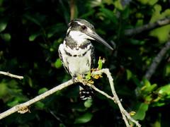 Bontvisvanger / Pied Kingfisher (Bruwer Burger.) Tags: piedkingfisher bontvisvanger pied kingfisher