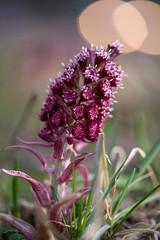 Flower in the trafic lights (Ruthgard) Tags: flower bokeh spring gras red pestrot butterbur
