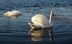 Ice navigation (ann-k b) Tags: swan river ice norway sonya6000 mirrorless bird water