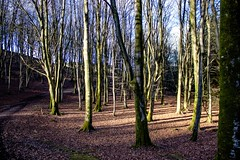 My favourite bit of the forest (allybeag) Tags: setmurthy woods forest trees beeches beechtrees bare winter leaves