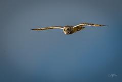 Short Eared Owl (2 of 3) (andy_harris62) Tags: shortearedowl shortie soe birdofprey birdinflight animal nature wildlife owl