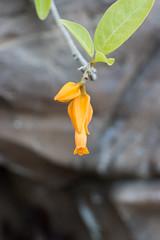 IMG_0072 (jaglazier) Tags: 2018 31518 deciduoustrees florida march marieselbybotanicalgardens museums sarasota trees usa copyright2018jamesaglazier floweringtrees gardens yellow