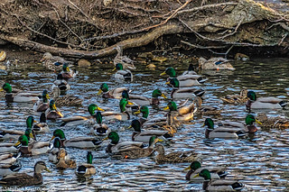 """""""Duck Pond"""" Stratford, Connecticut"""