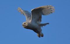 Take Off! (NatureFreak07) Tags: birds snowyowl malesnowyowl flying takeoff birdsofprey kingstonontario flight inflight wildlifephotography naturephotography naturefreak07 hnainphotography